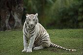 孟加拉虎,虎,肖像,濒危,印度