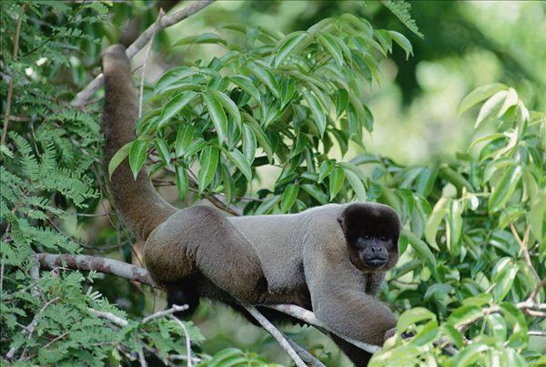 图片标题:猴子,树上,亚马逊河,生态系统,巴西