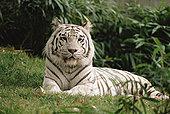 白色,孟加拉虎,虎,肖像,动物园