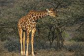 长颈鹿的叫声