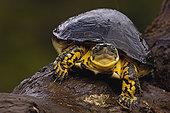 哥伦比亚人,木头,龟,肖像,亚马逊河,厄瓜多尔