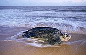 棱皮海龟,棱皮龟,边缘,窝,麦尔斯堡海滩,圭亚那