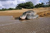 棱皮海龟,棱皮龟,雌性,背影,产卵,麦尔斯堡海滩,圭亚那