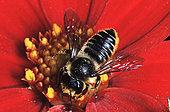 蜜蜂,收集,花粉,红花,西欧