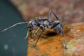 工作,模型,蚂蚁,模仿,树螽,蜘蛛,几内亚,西非