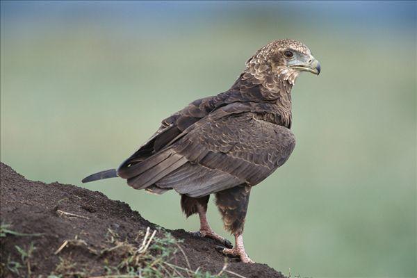 鹰是几级保护动物