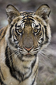 孟加拉虎,虎,幼小,女性,班德哈维夫国家公园,中央邦,印度