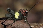 蝗虫,展示,警戒色,檀中埠廷国立公园,印度尼西亚