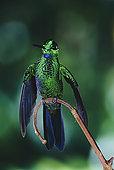 凤尾蜂鸟图片库