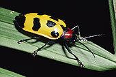 叶子,甲虫,雨林,肖像,俯视,哥斯达黎加