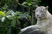 孟加拉虎,虎,白色,成年,休息,亚洲