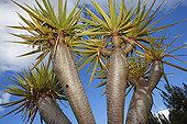 加纳利群岛,龙,树,树干,叶子,马德拉岛