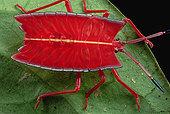 红色,发臭,昆虫,臭虫,文莱,婆罗洲