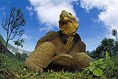 加拉帕戈斯巨龟,加拉帕戈斯象龟,阿尔斯多火山,伊莎贝拉岛,加拉帕戈斯群岛,厄瓜多尔