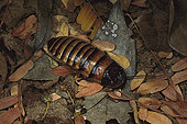 巨大,马达加斯加,叫声,蟑螂,地上,叶子,贝伦提保护区