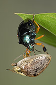 食肉动物,发臭,昆虫,吃,甲虫,异翅亚目,哥斯达黎加