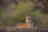 孟加拉虎,虎,老,幼小,区域,早晨,干燥,季节,班德哈维夫国家公园,印度