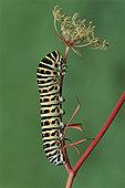金凤蝶,毛虫,瑞士
