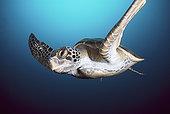 绿海龟,龟类,游泳,加拉帕戈斯群岛,厄瓜多尔