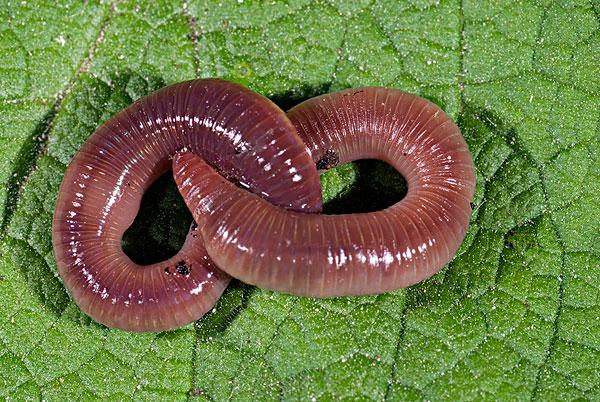 地下动物蚯蚓图片
