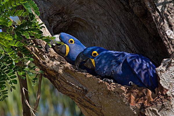 紫蓝金刚鹦鹉,一对,树上