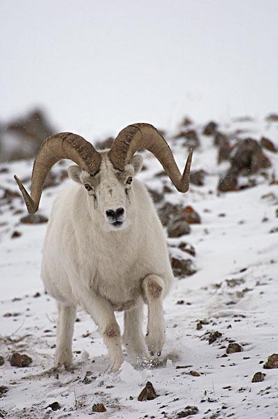 绵羊,白大角羊,阿拉斯加