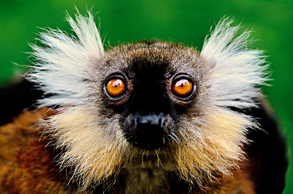 雌性,黑狐猴,马达加斯加