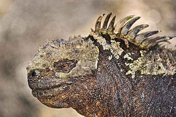 图片标题:海鬣蜥,加拉帕戈斯群岛