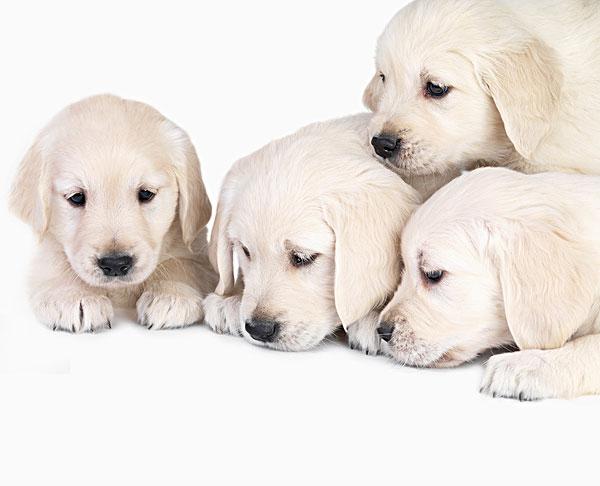 图片标题:可爱,年轻,拉布拉多犬,小狗