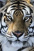 虎,特写,脸