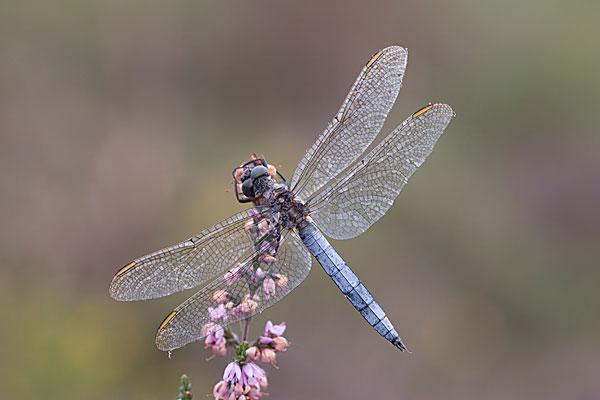 标题: 蜻蜓 标签: 蜻蜓,飞行,诺福克,英格兰,八月 描述: 蜻蜓,飞行,诺福克,英格兰,八月 英文描述: Male Keeled skimmer (Orthetrum coerulescens) in flight, Holt Lows CP, Norfolk, England, August 摄影师: Robin Chittenden 图片编号: nature1274004 版权属性: 肖像权(不需要肖像权) 授权类型: 版权管理类(RM)图片 最大尺寸: 23M(RGB),3504x2336像素