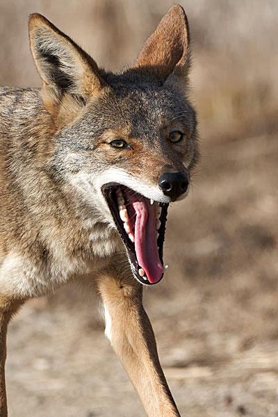 简笔画动物狼头