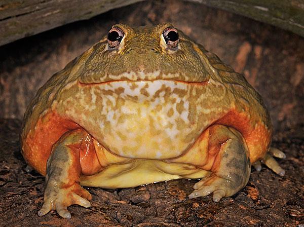 牛蛙是不是保护动物