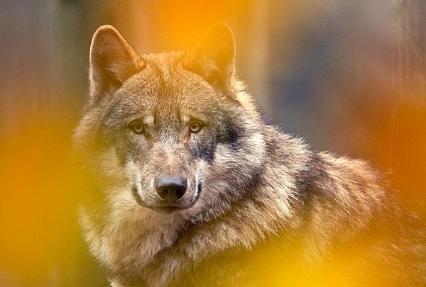 可爱狼头图片大全