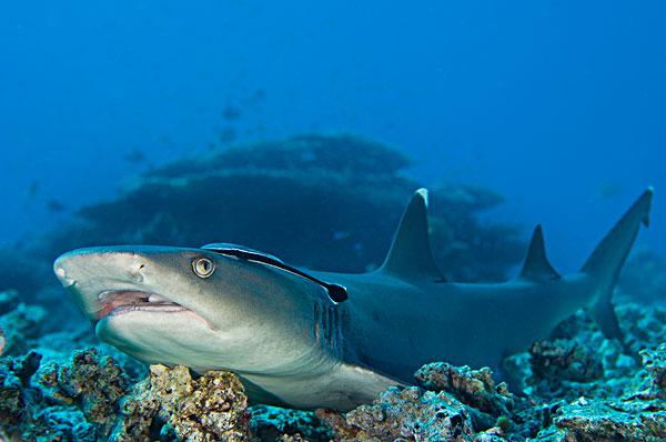 虎鲨鱼简笔画图片大全