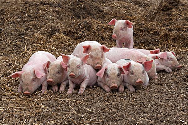 猪结构图片大全