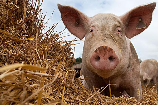 家猪,大,白色,母猪,状况,英国,九月图片