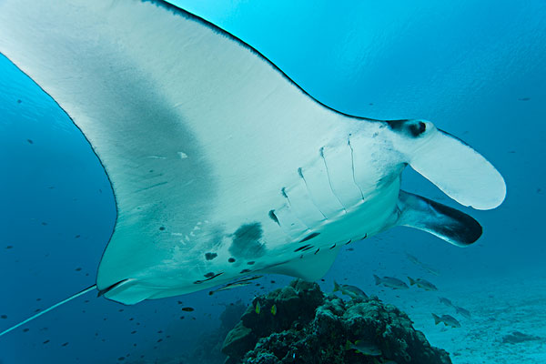 巨大,大鳐鱼,双吻前口蝠鲼,北方,四王群岛,西巴布亚,印度尼西亚,杂志