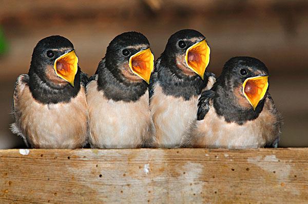 幼鸟,谷仓,燕子,家燕,叫,食物,多西特,英国,八月