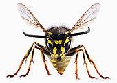特写,黄蜂