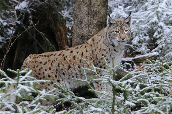 西双版纳森林豹子图片