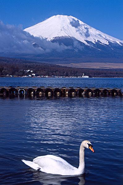日本,湖,富士山,天鹅