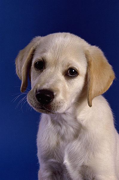 图片标题:特写,拉布拉多犬,复得,小动物