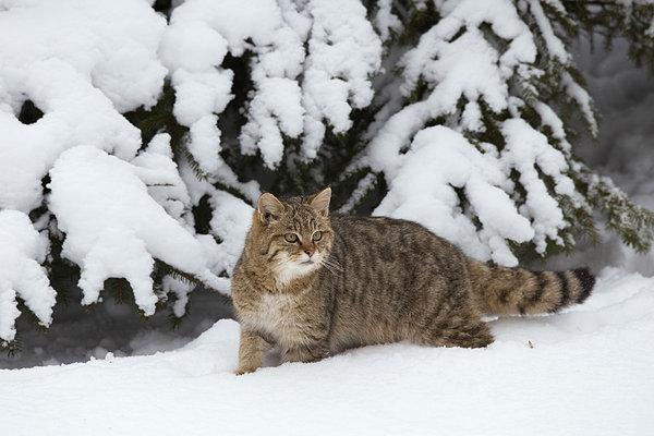 肖像,欧洲,野猫科动物