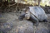 加拉帕戈斯巨龟,加拉帕戈斯群岛,厄瓜多尔