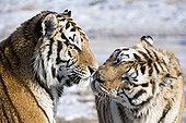 虎,哈尔滨,黑龙江,中国
