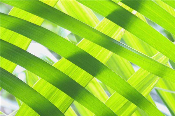 图片标题:特写,扇形棕榈,叶子