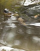 龟,哥斯达黎加
