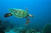 绿海龟,游泳,珊瑚礁,马达加斯加