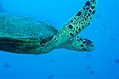 绿海龟,马达加斯加